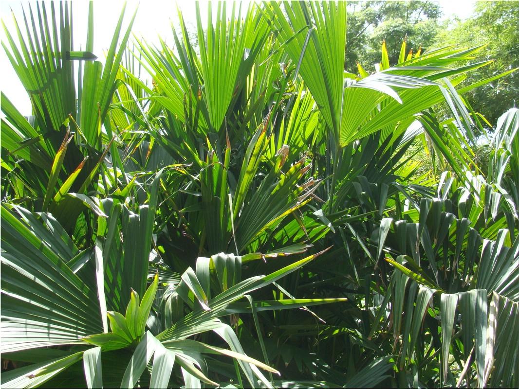 Guadeloupe faux palmier carludovica palmata for Faux palmier deco